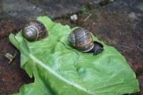 Thomas et les escargots (suite) (12)